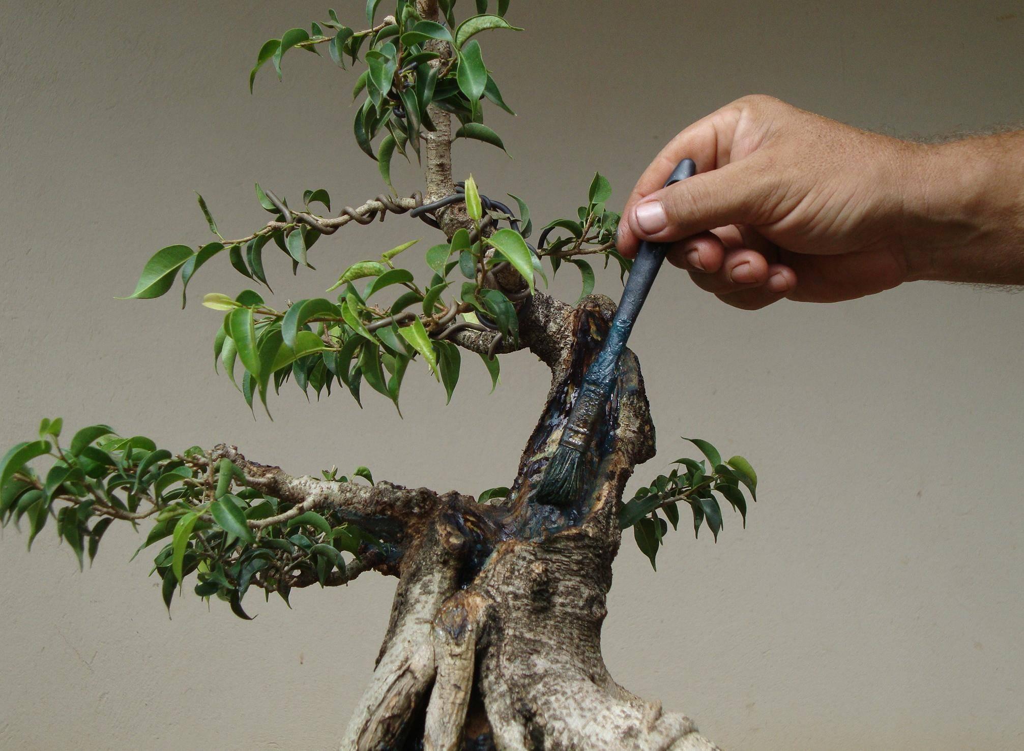 Как сделать бонсай из фикуса бенджамина своими руками. растим бонсай. все этапы до 7 лет. ч.1.