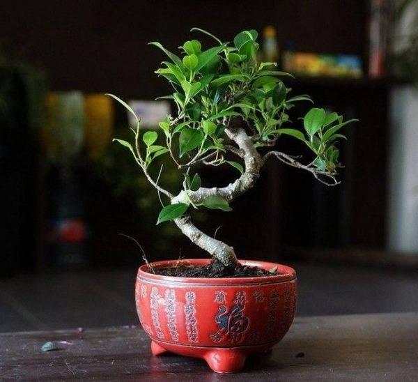 Как вырастить бонсай из фикуса бенджамина своими руками: формирование кроны