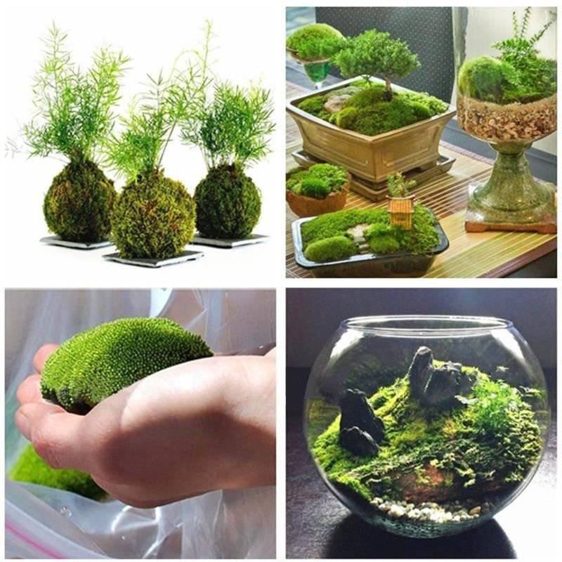 Ягель в домашних условиях. выращивание и уход за мхом в домашних условиях