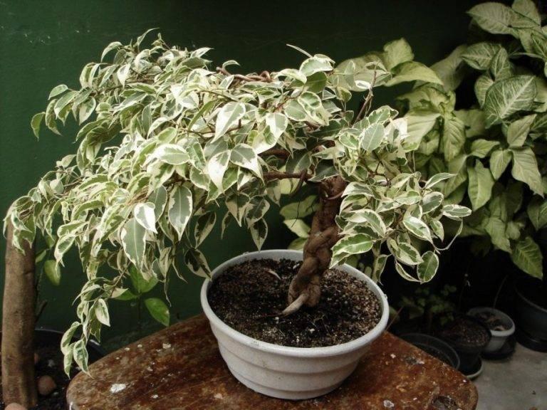 Фикус каучуконосный, целебные свойства обычного комнатного растения, приметы и суеверия