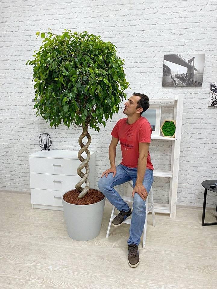 Как ухаживать за шеффлерой в домашних условиях (фото, видео)
