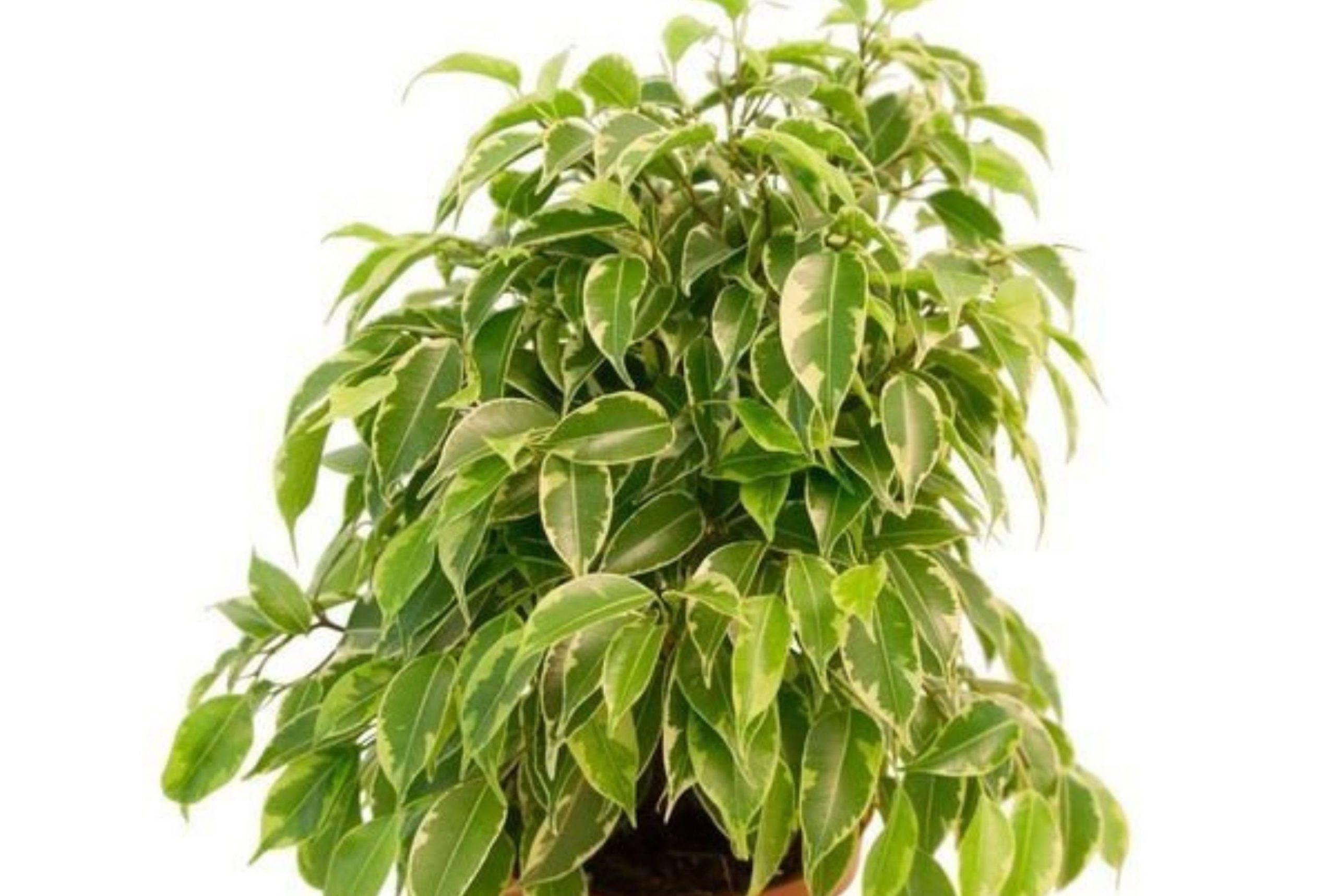 Чем подкормить фикус – бенджамина, каучуконосный, в домашних условиях, весной, зимой, для густоты листьев