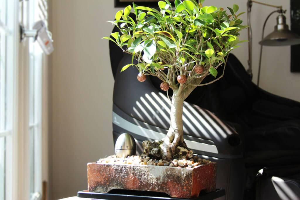Как вырастить бонсай в домашних условиях из фикуса бенджамина. растим бонсай. все этапы до 7 лет. ч.3.